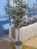 Wedding ficus tree